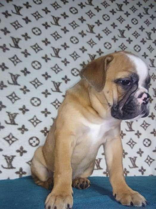 gordita bulldog a precio de regalo