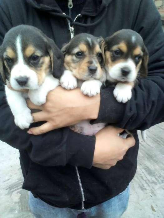 lindos cachorros de la raza <strong>beagle</strong> tricolor