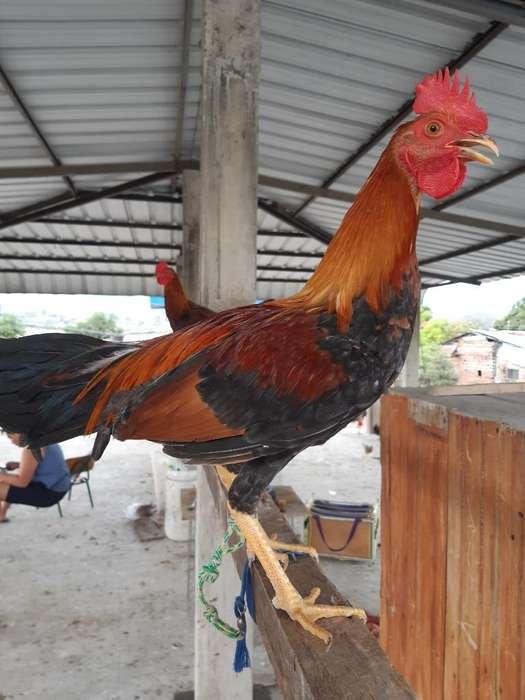 Pollos de 5 Meses Dujamel Colon por Puer