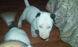 Bullterrier cachorrod