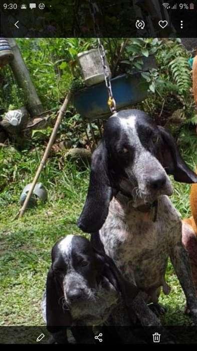 Perro Azul de Cascuña