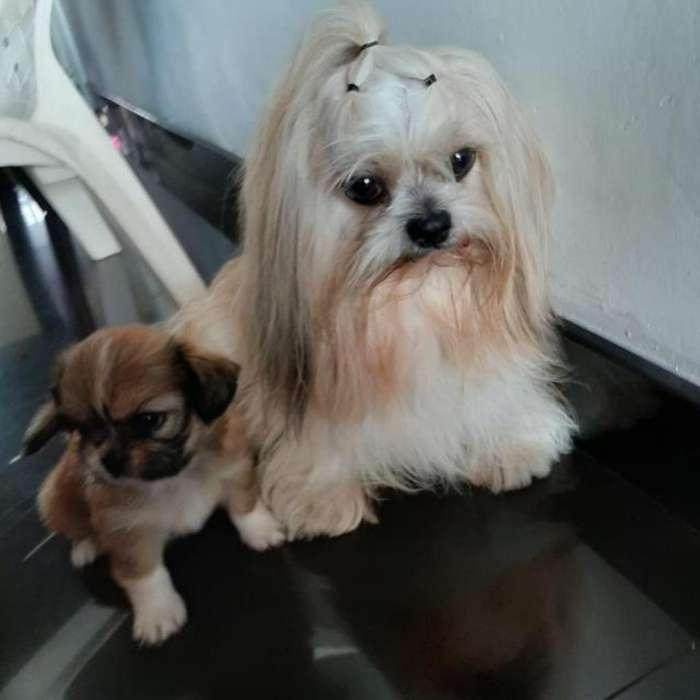 Se Vende Cachorro Shizu