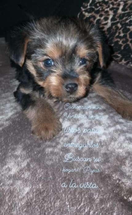 Vdo, Machitos Mini Yorkshire Terrier.