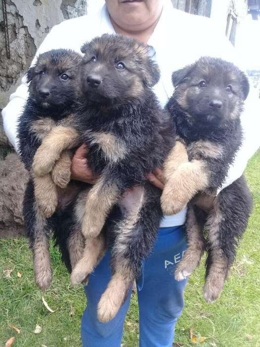 Sevende Cachorros Pastor Aleman