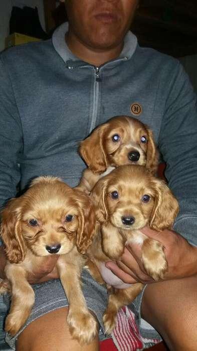 Se Vende Cachorros de Raza Coker Spanish