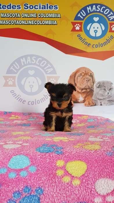 Ejemplares Yorkshire Terrier Mini Tacita Bon