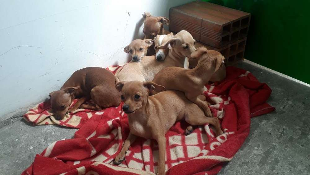 Se Vende <strong>chihuahua</strong> Hembras Hermosas