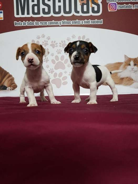 Espectaculares Jack Russell <strong>terrier</strong>