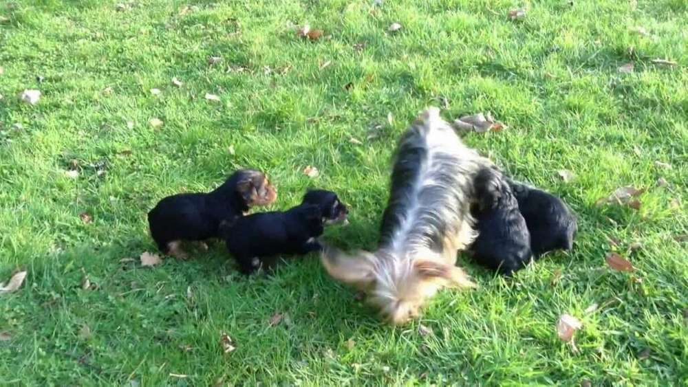 Vendo Cachorros Yorkshire Terrier