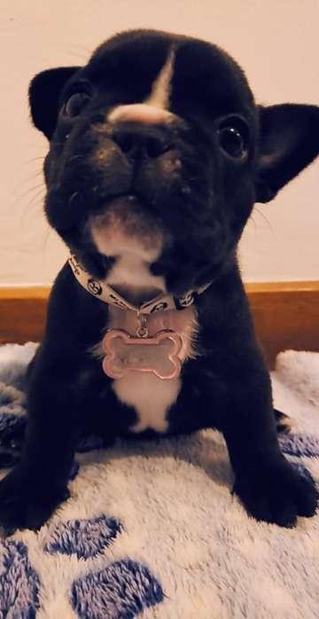 Bull Dog Francés Negro Barzino