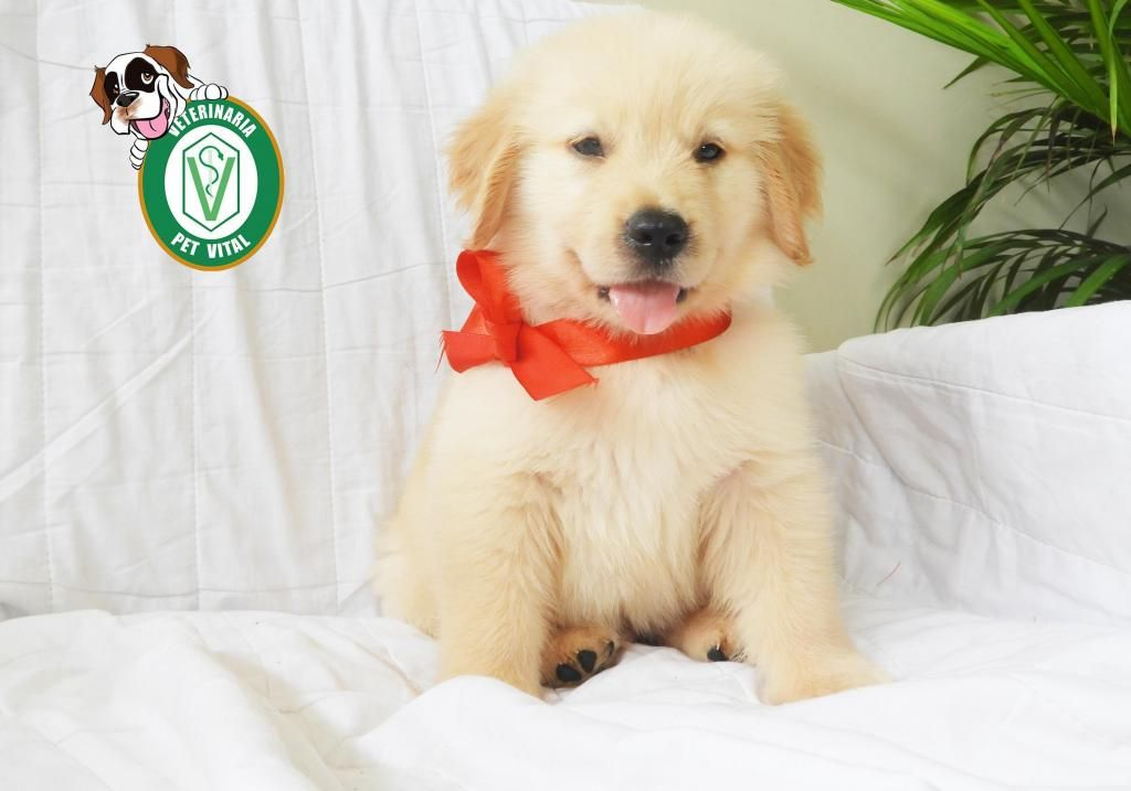 Cachorros Hermosos Golden Retriever Bichon Maltes Pug Beagle