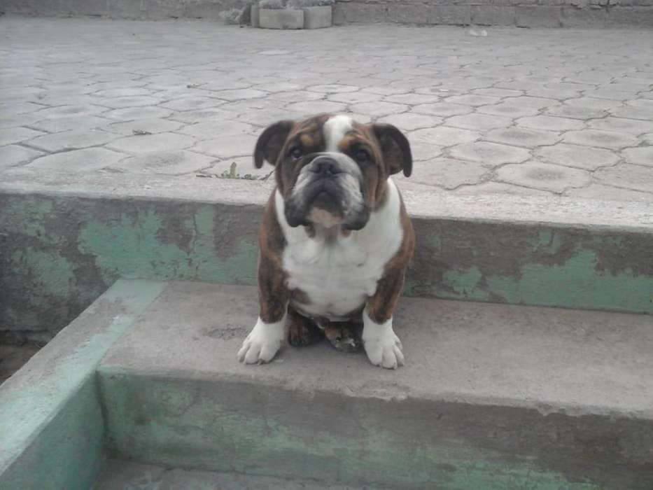 cachorro <strong>bulldog</strong> ingles atigrado