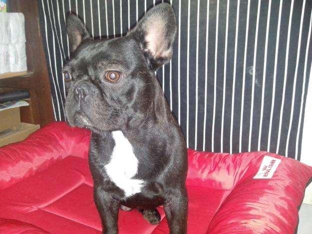 MACHO BULL DOG FRANCES BUSCA NOVIA !!!!!
