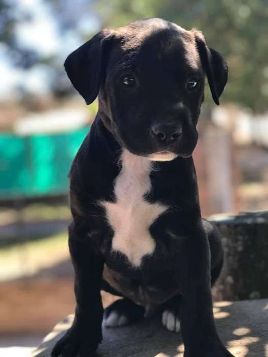 American Pitbull Terrier Macho