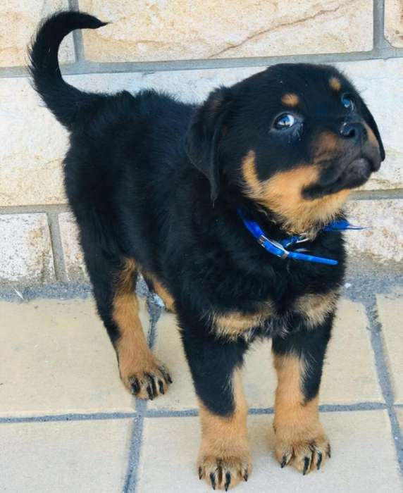 Ultima Hembrita <strong>rottweiler</strong> con Papeles F