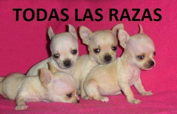 SENSACIONALES <strong>cachorro</strong>S CHIHUAHUAS EN VENTA MAS RAZAS FINAS
