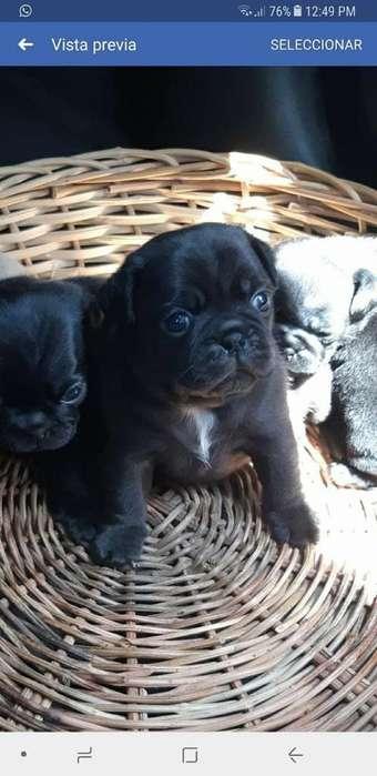 Pug de Color Negro Chabelo