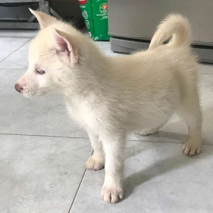 Los Mejores Ejemplares Siberianos Husky