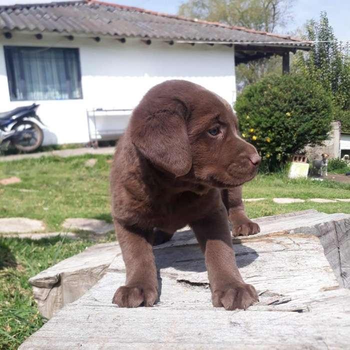 CACHORROS RAZA PURA Pug, Bichón Maltés, Rottweiler, Chihuahua, Pomerania PRECIOSOS DESDE