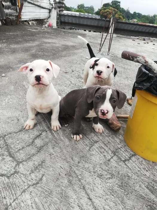 Cachorritos Bully