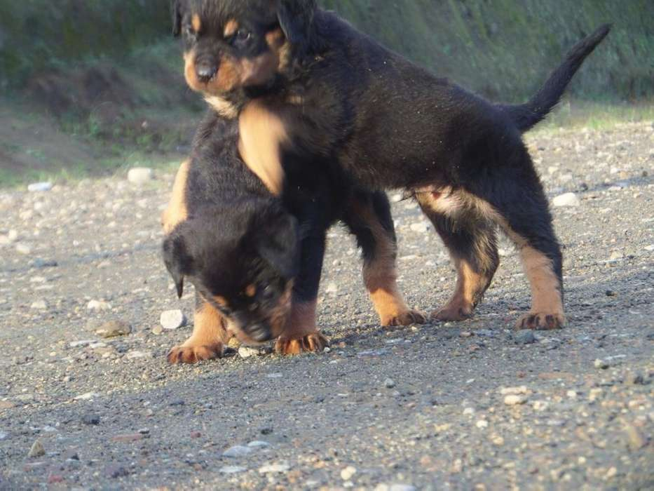 Cachorros de Linea Alemán