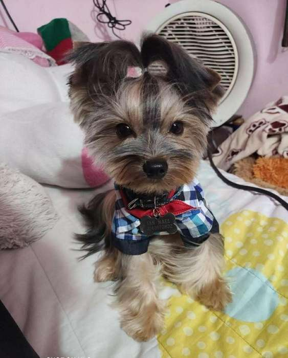 Yorkshire Terrier Mini Busca Novia