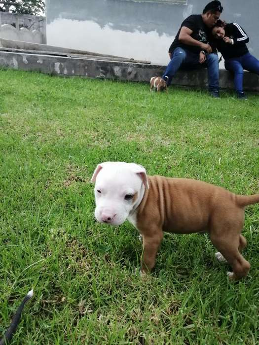 Cachorros Pitbull Puros 150 Negociables