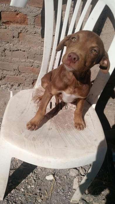 Vendo Cachrritos <strong>pitbull</strong>
