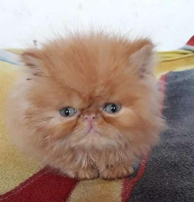 Hermosos Gaticos Persas Himalayos
