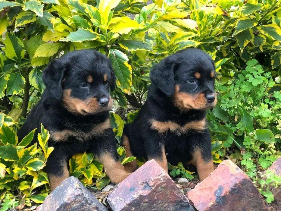 Cachorros <strong>rottweiler</strong> Tipo Exposición