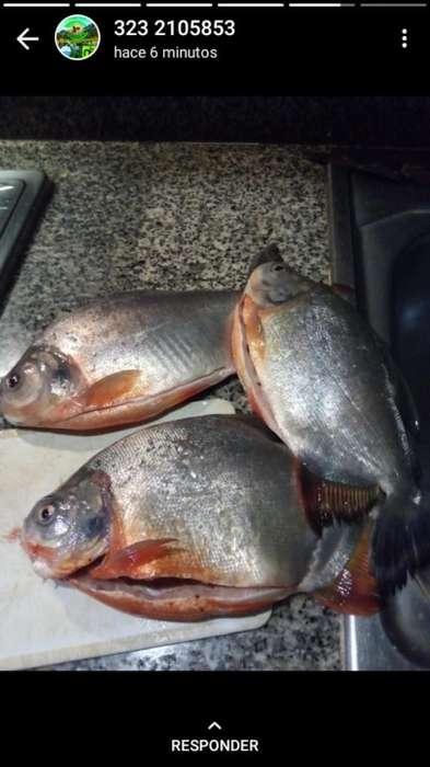 Vendemos Semillas Pescado