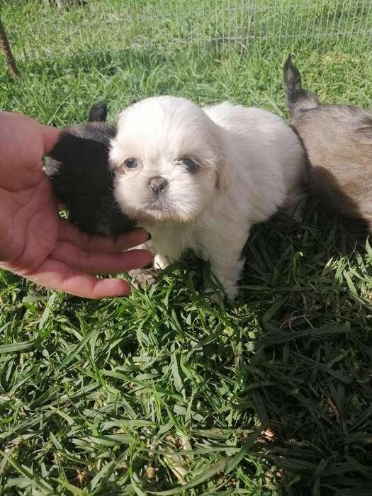 Shitzuu Mini Toy Cachorros