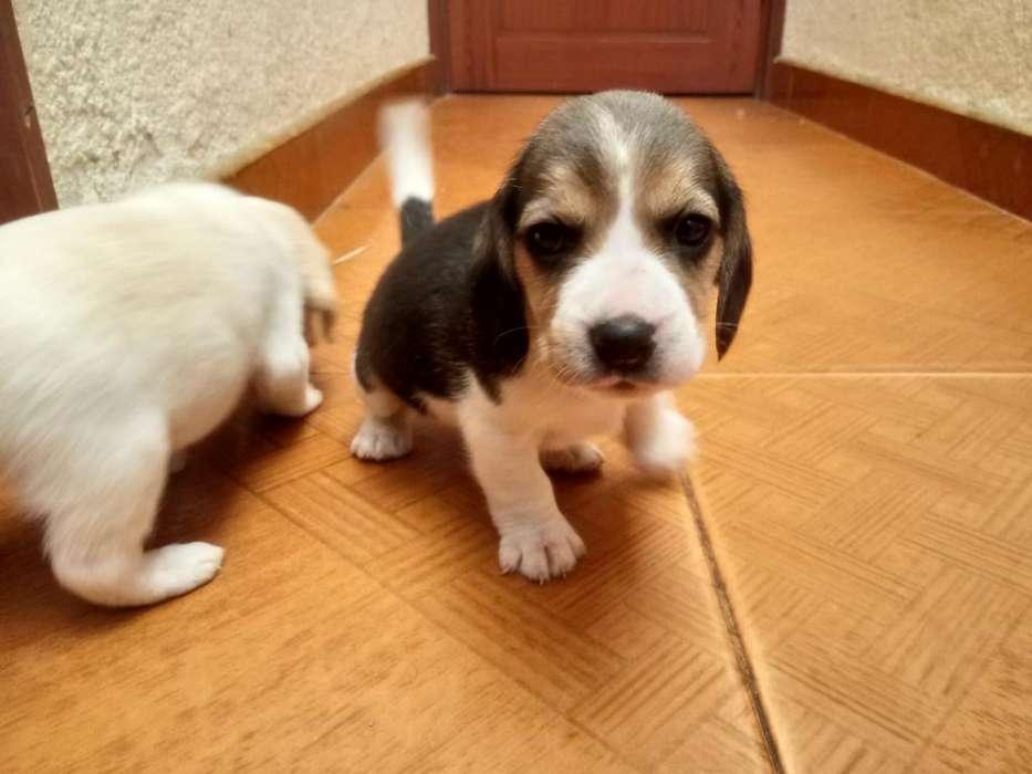 Hermosos <strong>beagle</strong>