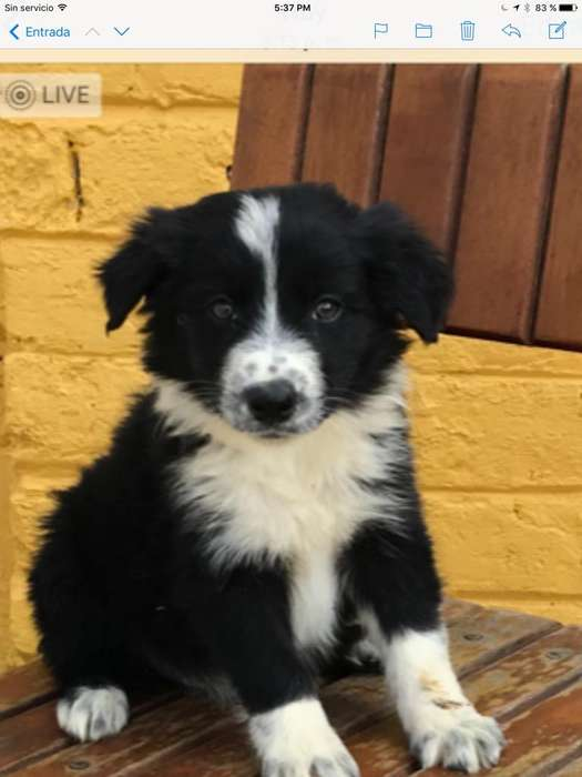 Border <strong>collie</strong>