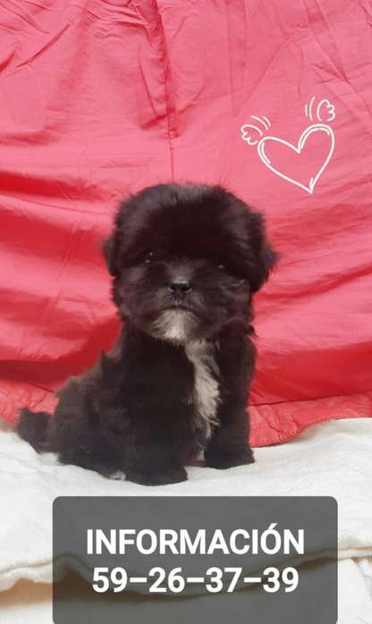 Vendo Machito Shih Tzu de Ganga