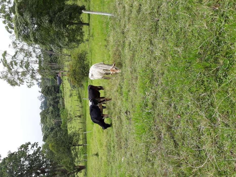 LEBRIJA SE VENDE LOTE DE 6 <strong>vacas</strong> LECHERAS CON SUS CRIAS