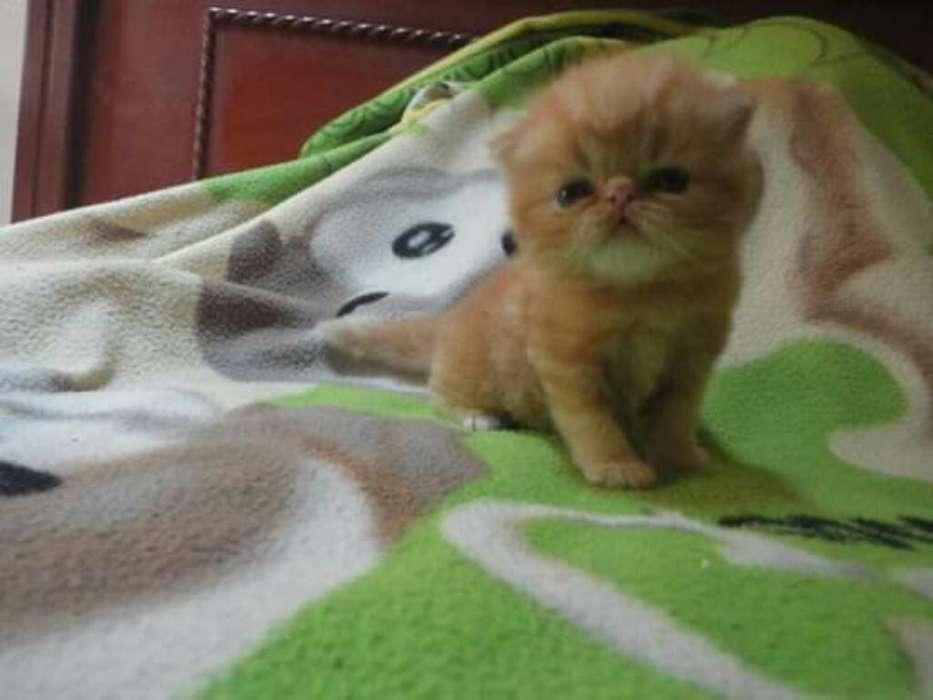 Gato Persa Extremo Color Red