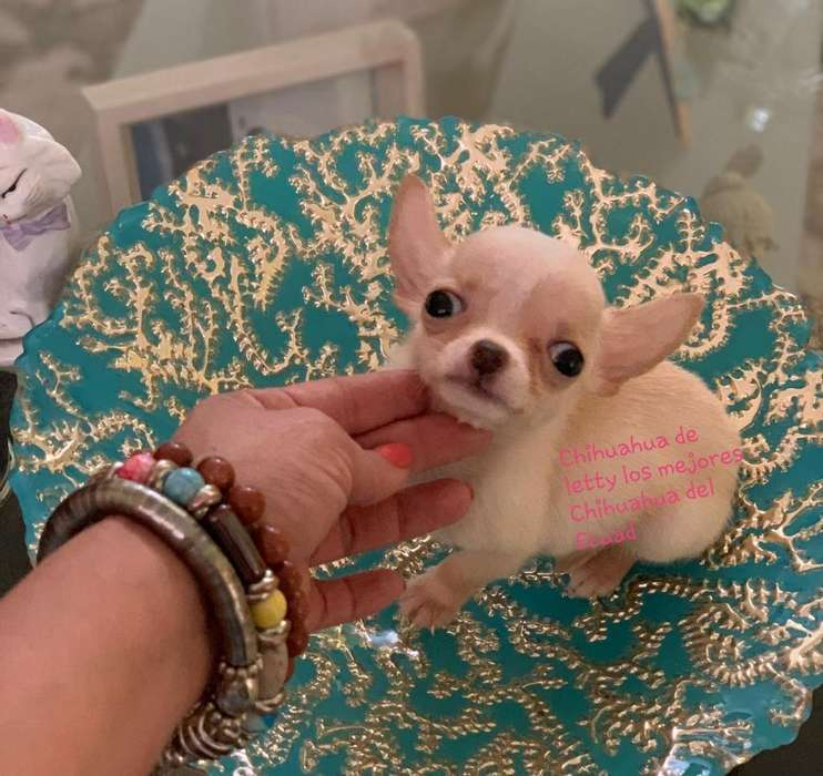Chihuahua de Letty Los Mejores Chihuahua