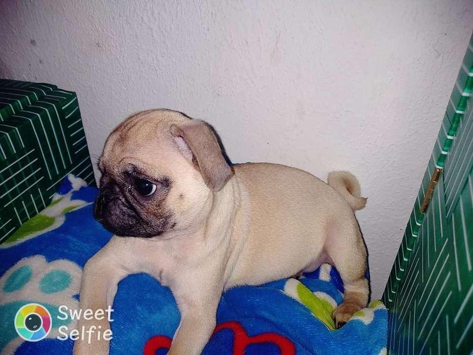 Vendo <strong>perra</strong> Pug Raza Pura
