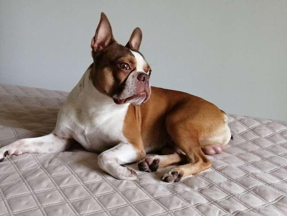 Boston <strong>terrier</strong> Busca Novia