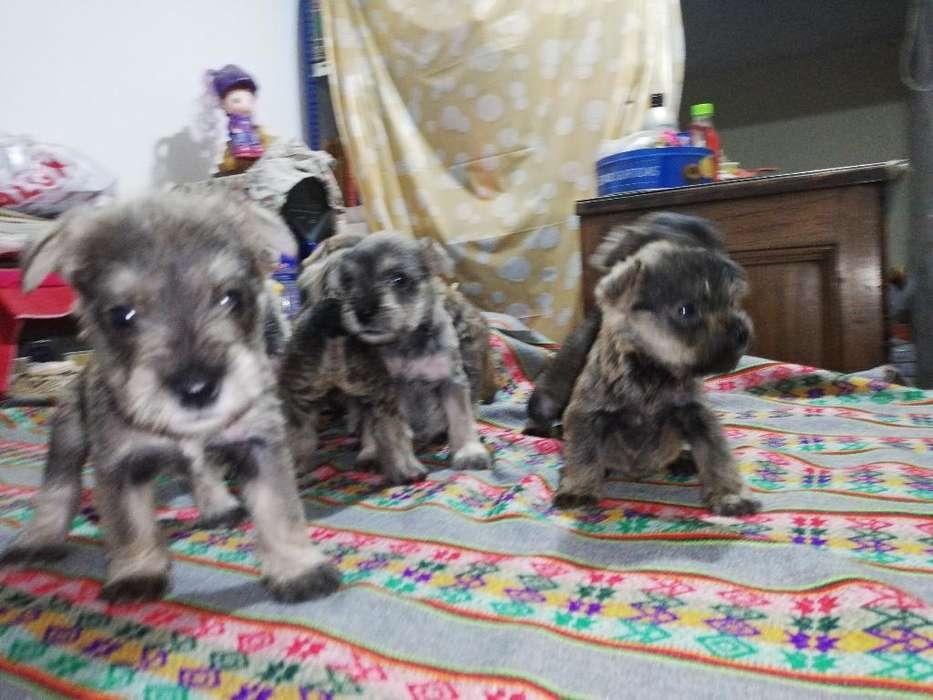 Schnauzer Cachorritos (6 Semanas)