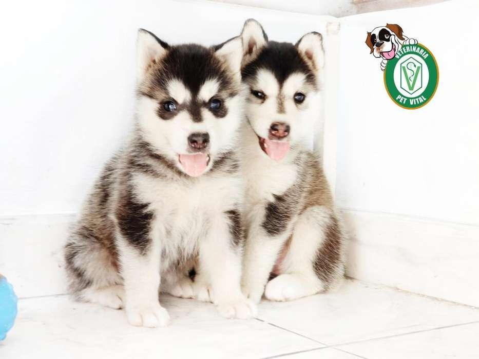 <strong>cachorro</strong>S PRECIOSOS HUSKY SIBERIANO EN PET VITAL !!!