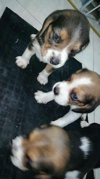 Ejemplares de <strong>beagle</strong> Tricolor Disponible