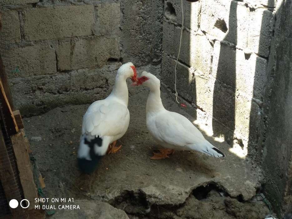 <strong>pato</strong>s Pareja