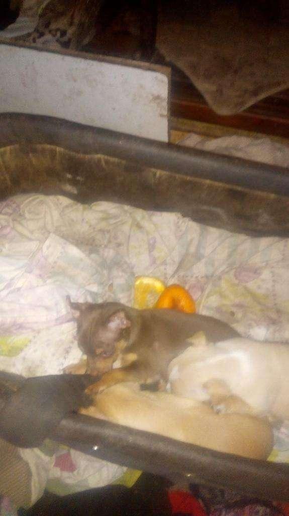 Chihuahua de Bolsillo Acepto Tarjeta Env
