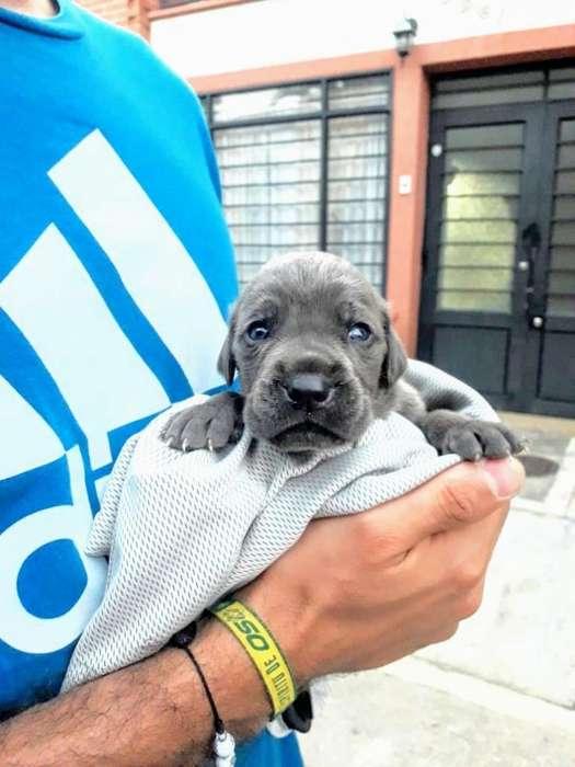 <strong>perro</strong>s Mastin Napolitanos