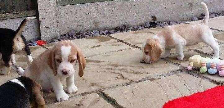 lindos cachorros de la raza <strong>beagle</strong> limon