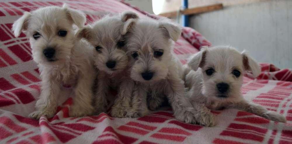 Vendo perritos Schnauzer Blanco