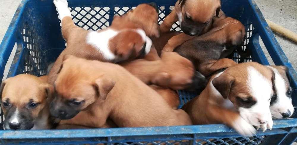 Se venden cachorros pit bull