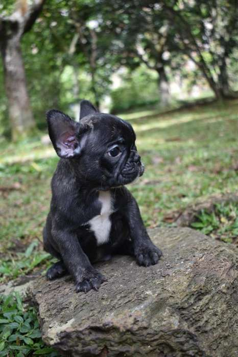 Cachorros <strong>bulldog</strong> Frances 1.000.000 Criadero El Arca del Frances